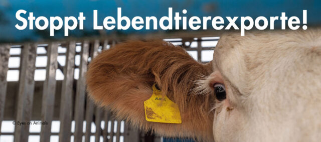 Eine Kuh im Tiertransport