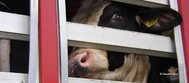Eine Kuh im Tiertranspirt