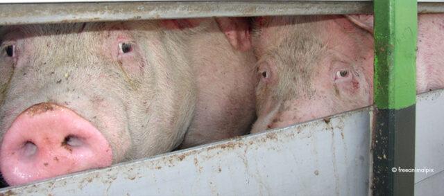 zwei Schweine in einem Transporter