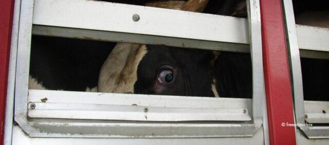 Eine Kuh im Tiertransporter
