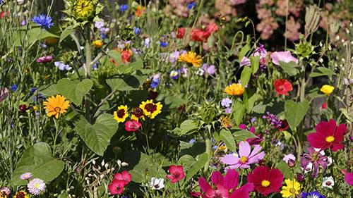 Eine Bienenwiese steht in voller Blüte