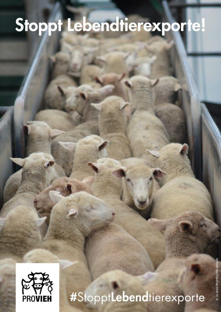 Postkarte, Schafe auf einem Transporter
