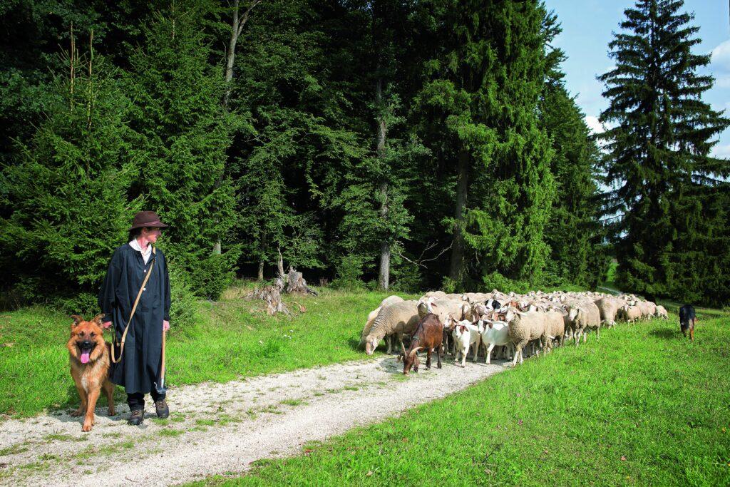 Eine Hirtin auf einem Weg mit ihren Schafen