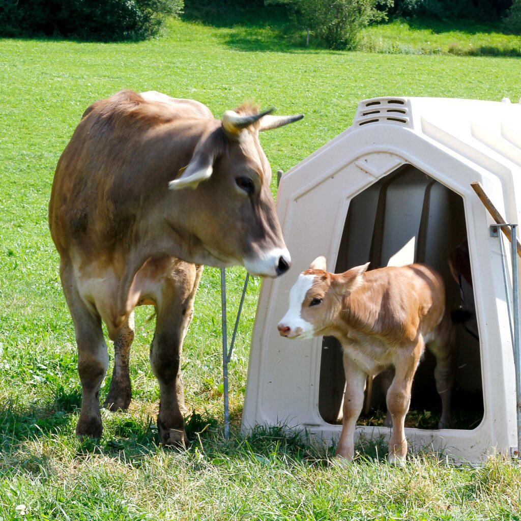 Eine Kuh und ein Kalb auf einer Wiese