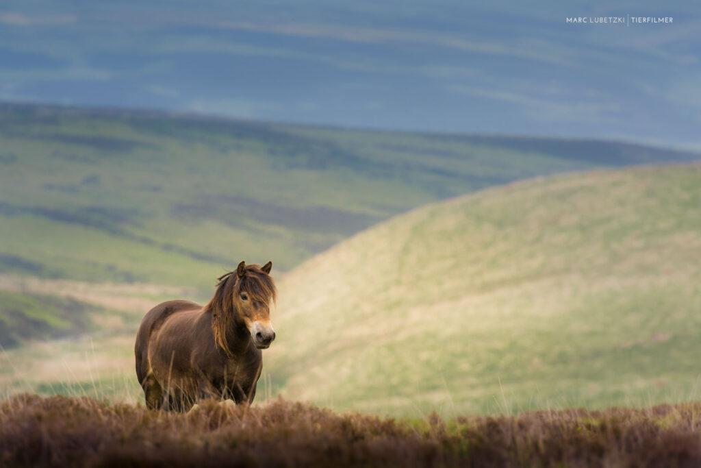 Ein Pferd kommt über ein Hügel