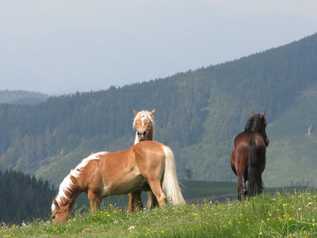 Drei Pferde auf einer Wiese vor Bergen