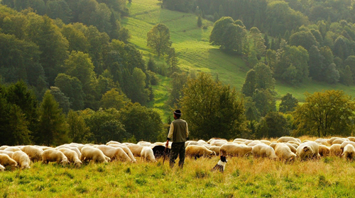 Eine Herde Schafe