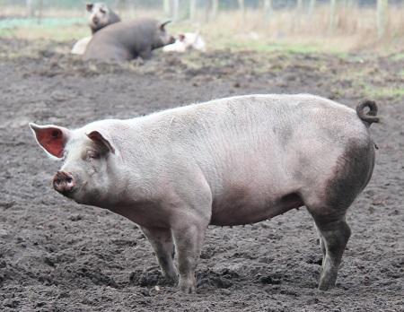 Ein Schwein im Schlamm