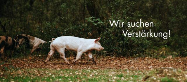 Schweine Freiland Wald