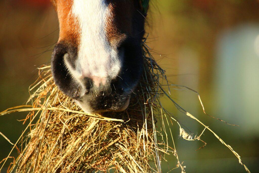 Pferdehaltung -  Pferde brauchen ständig Zugang zu Heu