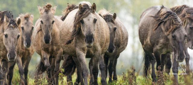 Eine Herde Wildpferde
