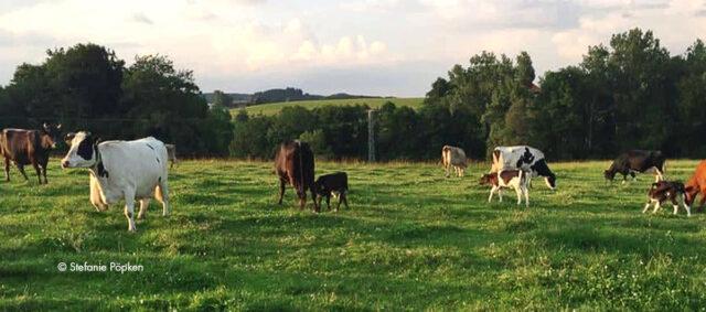 Kühe von Heumilchbauern