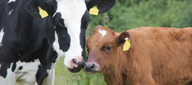 Eine Kuh und ihr Kalb