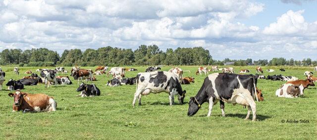 Milchkühe auf einer Weide
