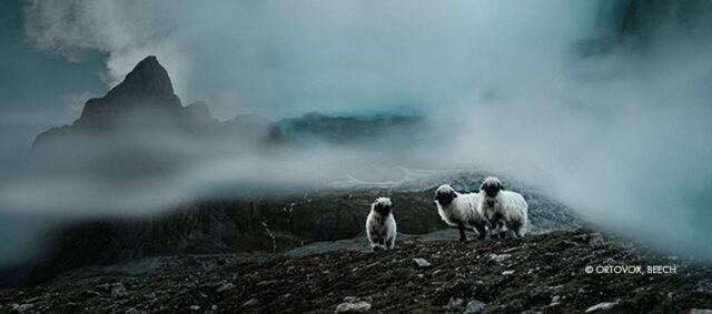 Schwarznasenschafe auf einem Berg