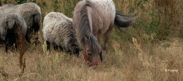Ein Pferd grast gemeinsam mit Scharfen