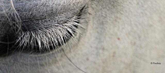 Ein weißes Pferd, Nahaufnahme des Auges