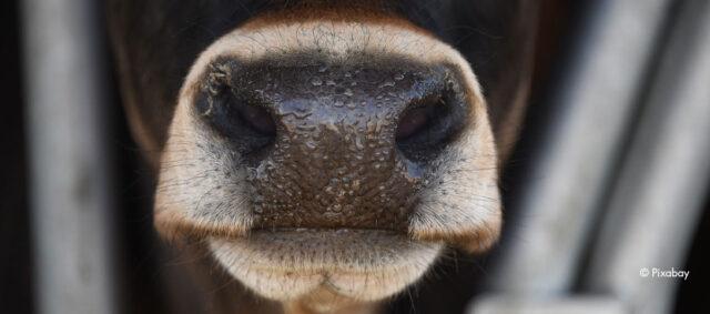 Die Schnauze einere Kuh