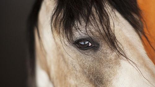 Ein Pferd schaut den Fotografen an