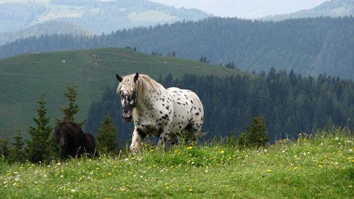 Zwei Pferde auf einer Wiese vor den Bergen