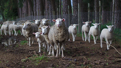 Eine Schafherde mit Lämmern