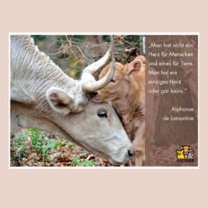 Kuh mit ihrem Kalb, Postkarte
