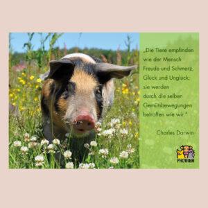 Postkarte mit Schwein