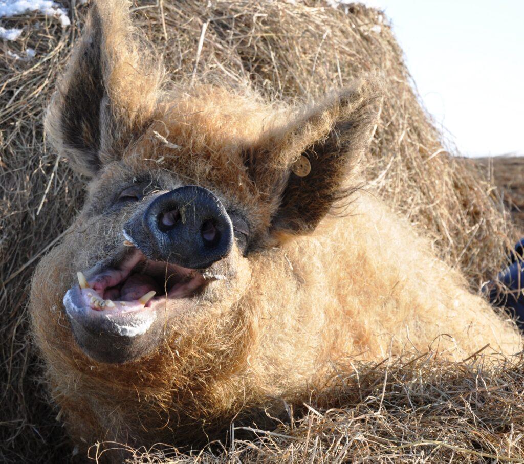 Ein glückliches Schwein im Heu