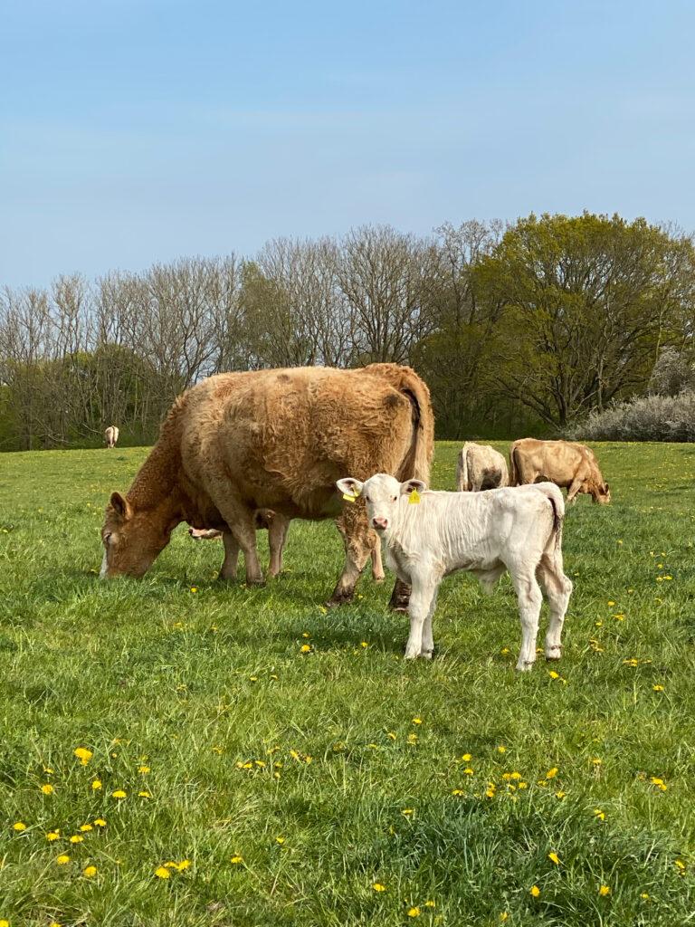 Ein Kalb und eine Kuh auf einer Wiese