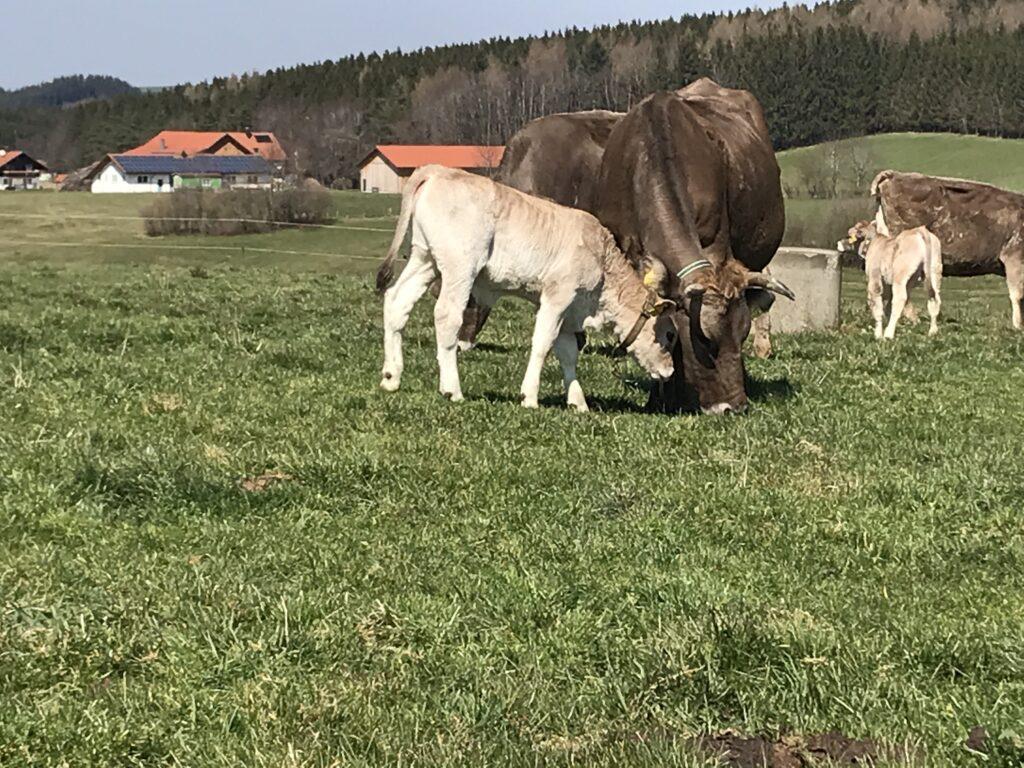 Eine Kuh mit ihrem Kalb auf einer Wiese