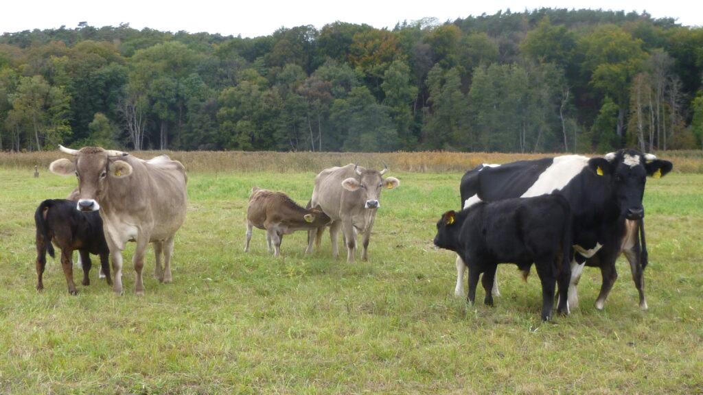 Die Kühe mit ihren Kälbern auf einer Wiese