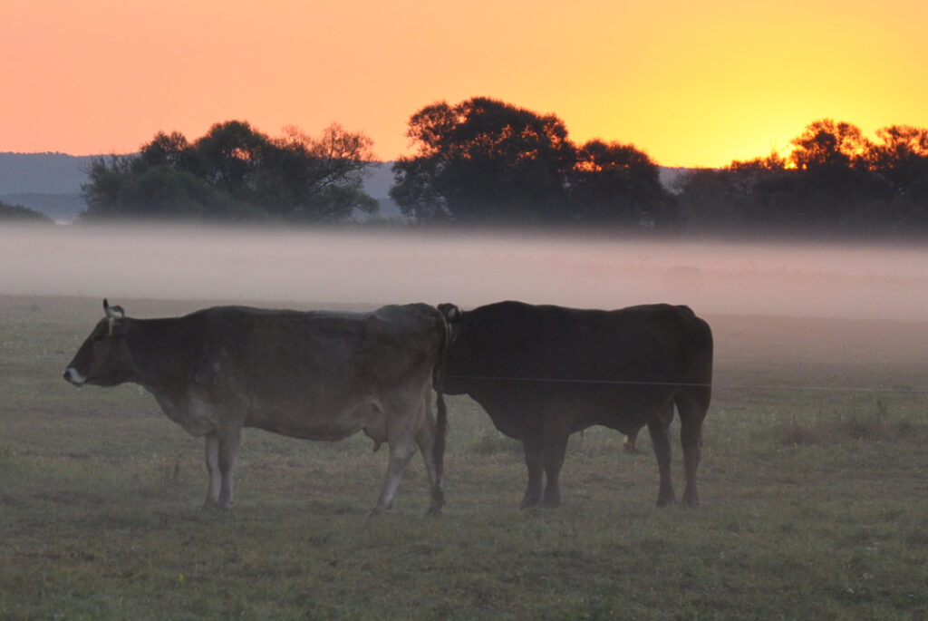 Kuehe bei einem Sonnenaufgang