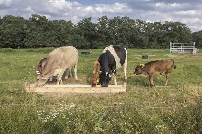 Futterstelle mit glücklichen Kühen