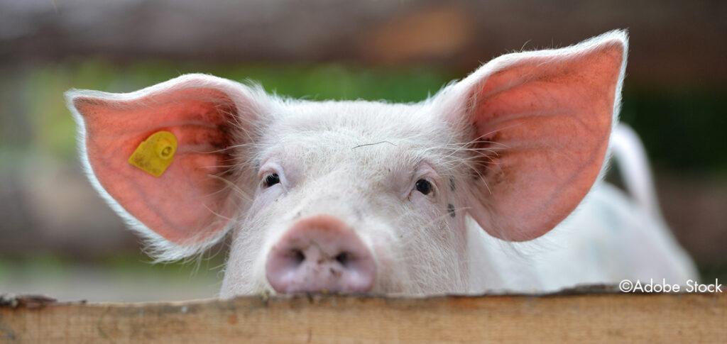 Schwein schaut über den Zaun