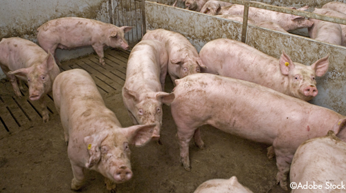 Schweine auf Teilspaltenboden