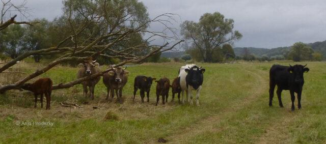 Kühe mit ihren Kälbern auf der Weide