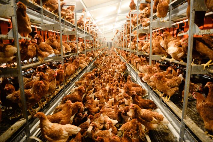 Hühner in einem Stall mit Bodenhaltung