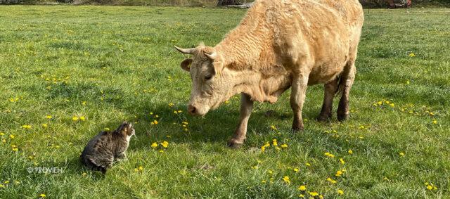 Eine Kuh trifft auf eine Katze
