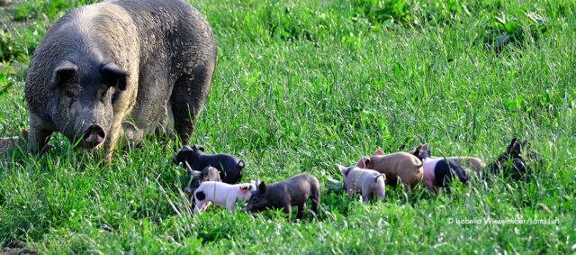 Ein Schwein und Ferkel im Grass