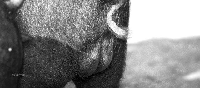 Angler Sattelschwein Ferkel