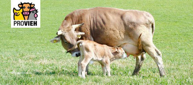 Eine Kuh mit ihrerem Kalb auf der Weide