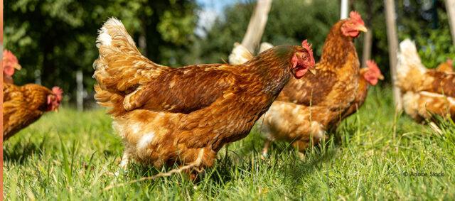 Hennen auf einer Wiese