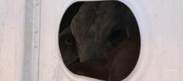 Kuh in einem Transporter
