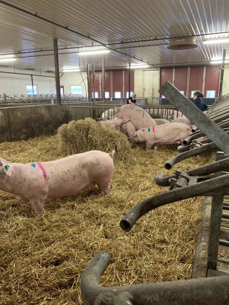 Schweine im Stall