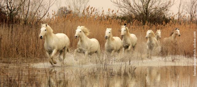 Pferde galoppieren durch Wasser