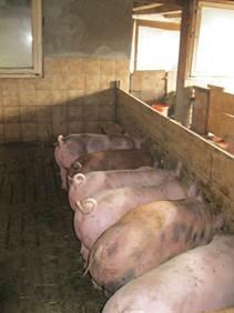 Schweine fressen im Stall
