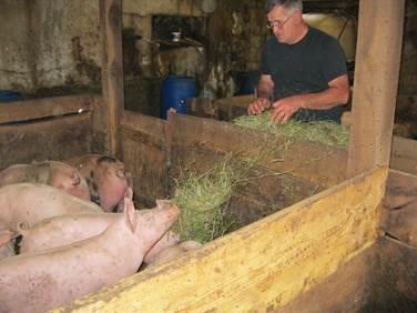 Schweine werden gefüttert