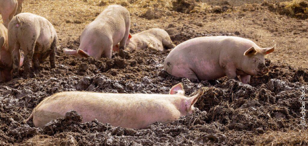 Schweine suhlen sich im Dreck