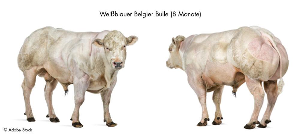Darstellung eines überzeuchteten Rindes