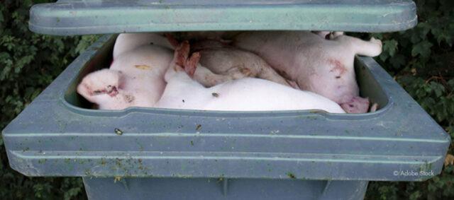 Ferkel in einer Mülltonne
